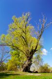 Tree a willow in the spring. Spring. A tree a willow with new leaves royalty free stock photos