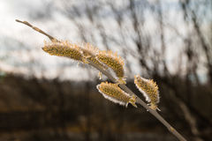Tree willow in spring forest blooms. Flowering tree in spring. Willow branches with buds stock images