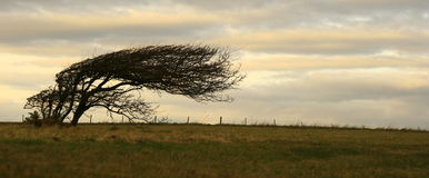 Tree in Wind Stock Image