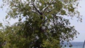 Tree and wind. On Adriatic sea stock video footage