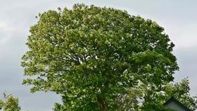 Tree wind nature leaves foliage. Video of tree wind nature leaves foliage stock footage