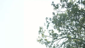 Tree in the wind. Oak tree branches and leaves with copy space stock video