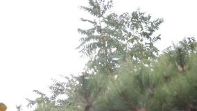 Tree in the wind storm summer. Ecologicaln stock video footage