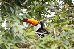 Tree Window surrounding Toco Toucan Royalty Free Stock Photo
