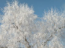 Tree in winter. White tree in winter time, frost Royalty Free Stock Images