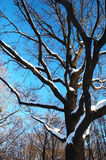 Tree in winter. Branches of a tree under snow over blue sky in wintertime Stock Photo