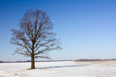 Tree in the winter Stock Photography