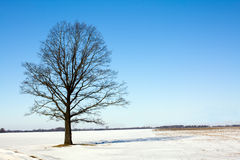 Tree (winter) Royalty Free Stock Image