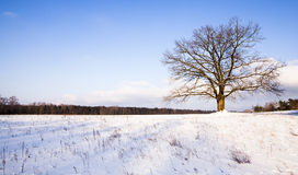 Tree in the winter Royalty Free Stock Photos