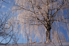 Tree in winter Stock Image