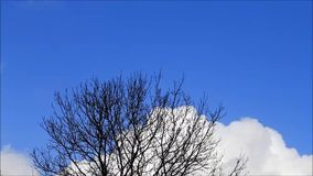 Tree in winter, blue sky, white clouds, time lapse. Background Tree in winter, blue sky, white clouds, time lapse stock video