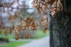 Tree in winter with brown leaves, Quercus Cerris. From Asia royalty free stock photography