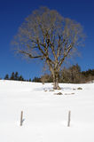 Tree on winter at Engelberg Royalty Free Stock Image