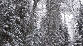 Tree in winter with falling snow. Tree in a forest in winter with falling snow stock footage