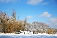 Tree in winter forest Royalty Free Stock Photography