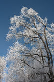 Tree in Winter Frost Stock Photography