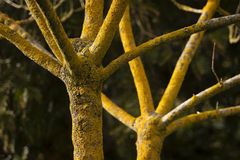 Tree in winter with no leaves and yellow lichen on bark Royalty Free Stock Photo