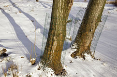 Tree on winter park near river with protection form animal beaver Stock Images