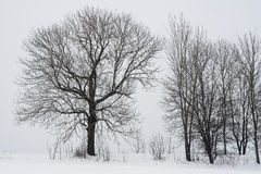 Tree. Winter tree in Polish forest Royalty Free Stock Images
