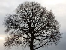 Tree in the Winter Royalty Free Stock Image