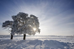 Tree in winter with snow covered fields Royalty Free Stock Image