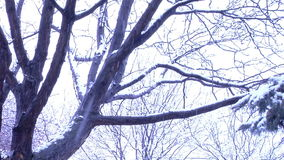 Tree in winter storm. Video of tree in winter storm stock video footage