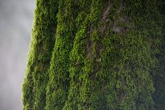 Free Tree With Moss On Roots In A Green Forest Or Moss On Tree Trunk. Tree Bark With Green Moss. Azerbaijan Nature. Royalty Free Stock Photography - 111810507