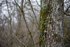 Free Tree With Moss On Roots In A Green Forest Or Moss On Tree Trunk. Tree Bark With Green Moss. Azerbaijan Nature. Royalty Free Stock Photos - 113976548