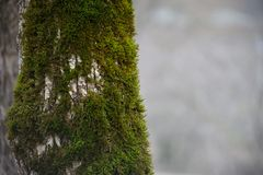 Free Tree With Moss On Roots In A Green Forest Or Moss On Tree Trunk. Tree Bark With Green Moss. Azerbaijan Nature. Royalty Free Stock Images - 117547569