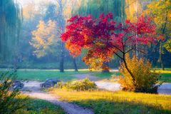 Free Tree With Red Leaves In Autumn Park In Sunlit Stock Photos - 158345613