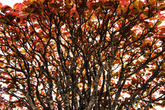 Tree With Spread Branch And Red Leaves,closeup Stock Images