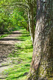 Tree on Woodland Path. A sun dappled empty woodland path lined with trees. leading into the distance. Large tree in foreground to right of frame.  Portrait Royalty Free Stock Images