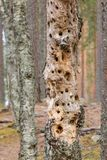 Tree with woodpecker holes. Tree trunk with lots of woodpecker holes Royalty Free Stock Photography