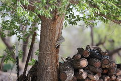 Tree and woodpile at Sweetwater Ranch. Tree and woodpile at ranch Sweetwater, TX Royalty Free Stock Images