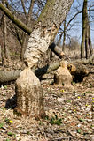 Tree in woods gnawed by beavers Stock Photo
