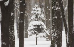 Tree in the woods in the middle of snow in winter in the snow Blizzard Royalty Free Stock Images