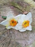 daffodil on wood stock photography