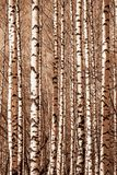 Tree, Woody Plant, Birch, Trunk royalty free stock image
