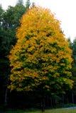 Tree, Woody Plant, Leaf, Autumn Royalty Free Stock Image