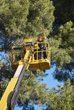 Tree work, pruning operations. Crane and pine wood forest.  stock image