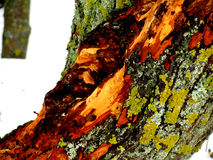 Tree wound Royalty Free Stock Images