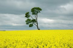 Tree on yellow. Single tree on the yellow field cloudy weather Stock Images