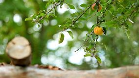 Tree with yellow apple and blurry background. Yellow apple moving in the calm wind stock video