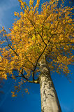 Tree with yellow autumn colors Stock Photography