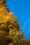 Tree with yellow autumn colors Royalty Free Stock Photo