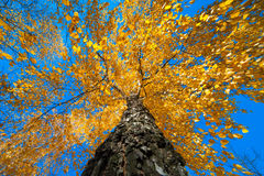 Tree with yellow autumn leaves Stock Photos