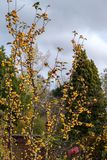Tree with yellow berries and thorny branches in East Grinstead. West Sussex stock photo