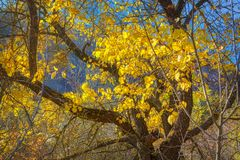 Yellow branches tree. Tree with yellow branches in the fall season stock images