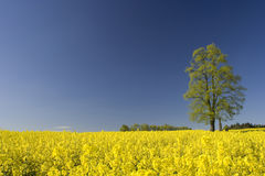 Tree in a yellow field. Whitewood in a field of flowering rape Stock Photos