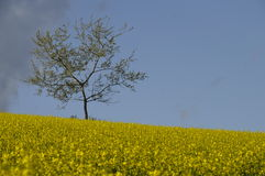 Tree among Yellow field of colza Royalty Free Stock Photography